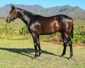 Lot 153 Bay Colt by Elusive fort